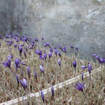 کاشت زعفران در گلخانه به روش هیدروپونیک و آیروپونیک